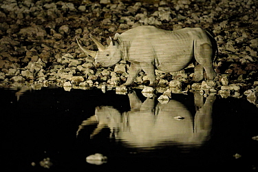 Black rhinoceros (Diceros bicornis) at night on Okaukuejo waterholole, Etosha National Park, Kunene, Namibia, September. Critically endangered.
