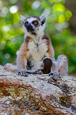 Ring-tailed lemur (Lemur catta) mother with baby, Isalo National Park, Madagascar, October 2019. Endangered species
