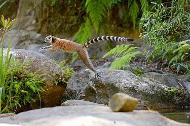 Ring-tailed lemur (Lemur catta) jumping, Isalo National Park, Madagascar, October 2019. Endangered species