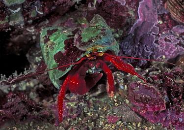 Maroon hermit crab (Pagurus hemphilli) inside turban shell, Seven-tree Island, Browning Pass, British Columbia, Canada. September.