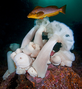 Giant plumose anemones (Metridium farcimen) are among the tallest sea anemones in the world, with female Kelp greenling (Hexagrammos decagrammus), North Wall, Browning Pass, British Columbia, Canada....