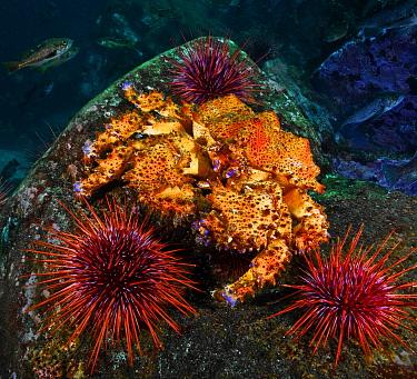 Puget sound king crab (Lopholithodes mandtii) and Red sea urchins (Strongylocentrotus franciscanus), Deserter Group, Queen Charlotte Strait, British Columbia, Canada. September.