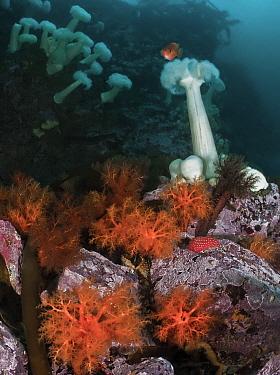 Red sea cucumbers (Cucumaria miniata) and plumose anemones (Metridium farcimen)North Wall, Browning Pass, Queen Charlotte Strait, British Columbia, Canada. September.