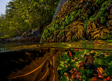Split level shot of kelp and other 'seaweeds' partly exposed at low tide, with coniferous forest in the background. Seen in this photograph are the following: Turkish washcloth (Mastocarpus pa...
