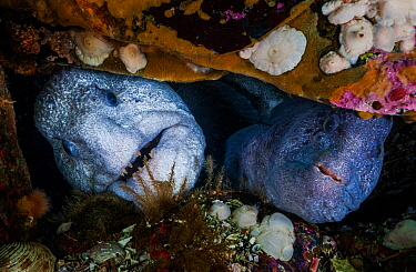 Wolf-eels (Anarrhichthys ocellatus) pair (male is on the left) in rocky den at the base of a wall. The pile of broken shells at the entrance is consistent with the wolf-eel's diet, which includes...