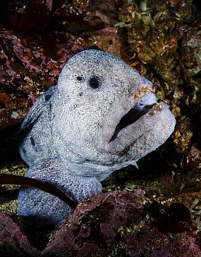 Wolf eel (Anarrhichthys ocellatus) Croker Rock, Queen Charlotte Strait, British Columbia, Canada. September.
