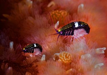 Sea fleas (Chromopleustes oculatus) on dorsal surface of a Giant sunflower seastar, Port Neville, Johnstone Strait, British Columbia, Canada. March.