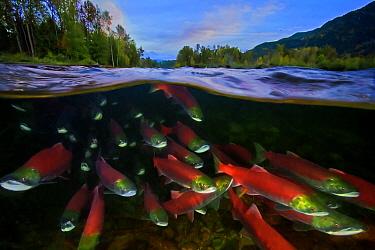 Sockeye salmon (Oncorhynchus nerka) migration, Adams River, British Columbia, Canada. October.
