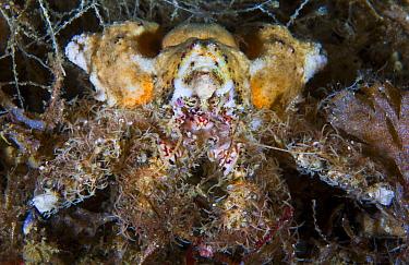 Rhinoceros crab (Rhinolithodes wosnessenskii) Queen Charlotte Strait, British Columbia, Canada. September, 2012.
