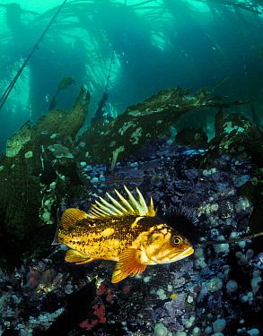 Copper rockfish (Sebastes caurinus) Bolivar Passage, Queen Charlotte Strait, British Columbia, Canada. September.