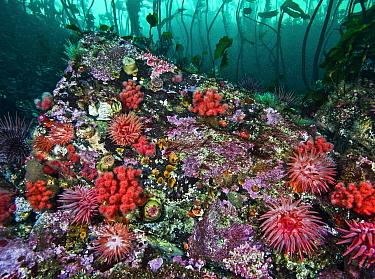 Marine invertebrates including Crimson anemones (Cribrinopsis fernaldi), Painted anemones (Urticina crassicornis), Red soft coral (Gersemia rubriformis), Red sea urchins (Strongylocentrotus franciscan...