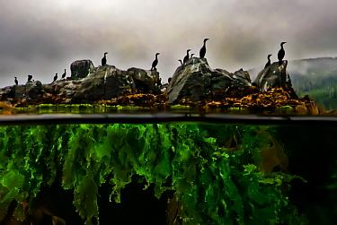 Split-level of Cormorants (Phalacrocorax sp.) standing on rocks with Sea lettuce (Ulva sp.) seen underwater, Hussar Bay, Nigei Island, Queen Charlotte Strait, British Columbia, Canada. September.