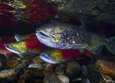 Sockeye Salmon (Oncorhynchus nerka) and Chinook Salmon (Oncorhynchus tshawytsha) (right) during the salmon run; Adams River, British Columbia, Canada. October.