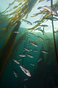 Black rockfish (Sebastes melanops) amongst Bull kelp (Nereocystis luetkeana); Hunt Rock, Queen Charlotte Strait, British Columbia, Canada. September.