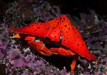 Umbrella Crab (Crytptolithodes sitchensis) portrait, Queen Charlotte Strait, British Columbia, Canada. September.