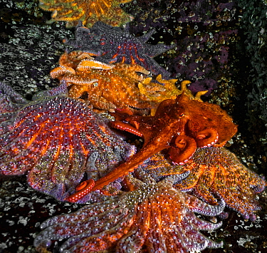 A young Giant Pacific Octopus (Enteroctopus dofleini) attempting to cross over and avoid touching a row of huge Sunflower sea stars (Pycnopodia helianthoides), Hanson's Island, British Colulmbia,...