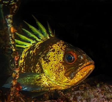 Quillback rockfish (Sebastes maliger) with venomous dorsal fin spines raised. Basket Bay, Alaska, USA. August.