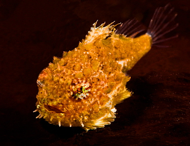 Pacific spiny lumpsucker (Eumicrotremus orbis), yellow form, which has fused ventral fins that form a suction disk, enabling it to attach itself to rocks and seaweed, Gambier Bay, Alaska, USA. August.