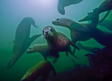 Steller sea lions (Eumetopias jubatus) playing underwater, Inian Island, Alaska, USA. August.