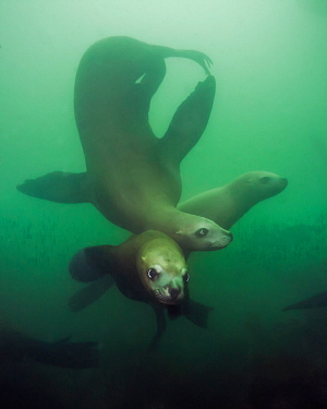 Steller sea lions (Eumetopias jubatus), three playing underwater, Inian Island, Alaska, USA. August.