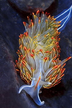Opalescent nudibranch (Hermissenda crassicornis) which preys upon stinging hydroids. It retains its prey's stinging cells (cnidocytes) which are transported to the colorful cerrata on nudibranch&#...