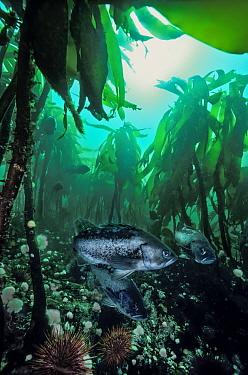 Old growth kelp (Pterygophora californica), urchins and Black rockfish (Sebastes melanops); Hunt Rock, Queen Charlotte Strait, British Columbia, Canada. September.
