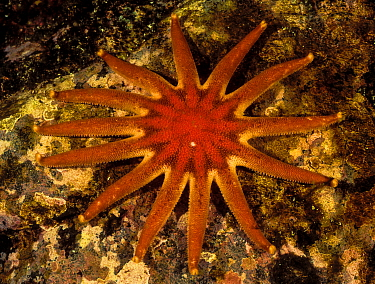 Morning sun star (Solaster dawsoni), Browning Pass, Queen Charlotte Strait, British Columbia, Canada. May.