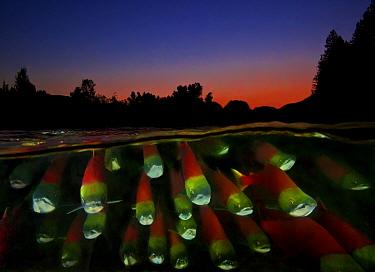 Split level of Sockeye salmon (Oncorhynchus nerka) during migration; Adams River, British Columbia, Canada. October.