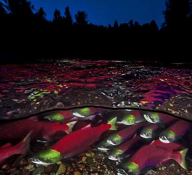 Split level of Sockeye salmon (Oncorhynchus nerka) migration; Adams River, British Columbia, Canada. October.