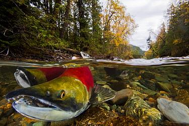 Sockeye salmon (Oncorhynchus nerka) males, Adams River, British Columbia, Canada. October.