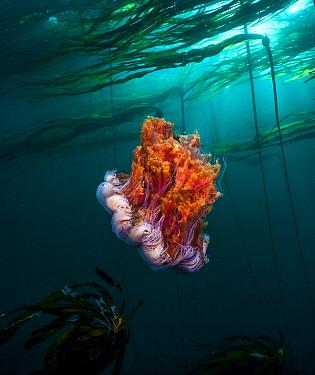 Lion's mane (Cyanea capillata) jellyfish, Hunt Rock, Queen Charlotte Strait, British Columbia, Canada. September.