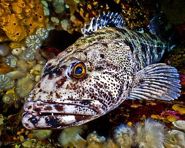Lingcod (Ophiodon elongatus) portrait, Hunt Rock, Queen Charlotte Strait, British Columbia, Canada. September.