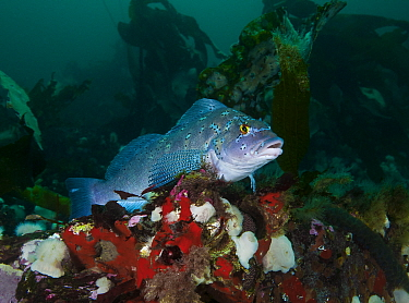 Kelp greenling (Hexagrammos decagrammus) male guarding at least three clusters of dark brown eggs, located just below where he is perched. Browning Pass, Queen Charlotte Strait, British Columbia, Cana...