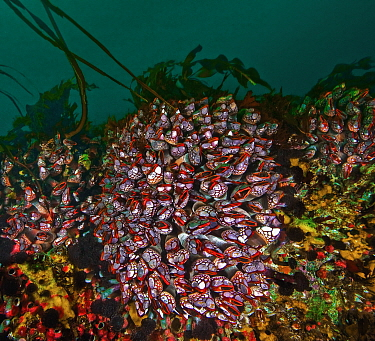 Gooseneck barnacles (Pollicipes polymerus) found only at Nakwakto Rapids, which has one of the strongest tidal currents in the world. Also seen are Vancouver featherduster worms (Eudistylia vancouveri...