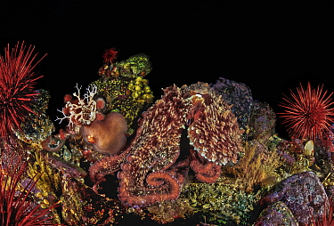 Giant Pacific octopus (Enteroctopus dolfeini) using its ability to change color and shape to blend in with its surroundings amongst red urchins and other echinoderms, Fantasy Island, Walker Group, Que...