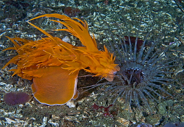 Giant dendronotid nudibranch (Dendronotus iris, left) lunging at its prey, a Tube-dwelling anemone (Pachycerianthus fimbriatus, right) which emerges from its tube at night, Staples Island, Queen Charl...