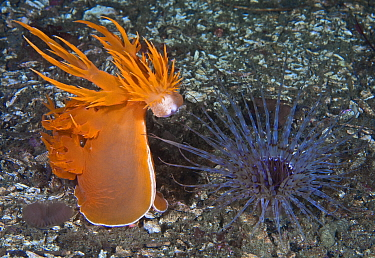 Giant dendronotid nudibranch (Dendronotus iris, left) rearing up, preparing to pounce on its prey, a Tube-dwelling anemone (Pachycerianthus fimbriatus, right) which emerges from its tube at night, Sta...