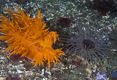 Giant dendronotid nudibranch (Dendronotus iris, left) approaching its prey, a Tube-dwelling anemone (Pachycerianthus fimbriatus, right) which emerges from its tube at night, Staples Island, Queen Char...