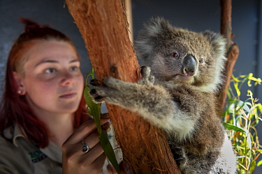 Toby, a baby female Koala (Phascolarctos cinereus) rescued from Gelantipy, East Gippsland, following the bushfires and now in care at Zoos Victoria Helasville Sanctuary, looked after by zoo keeper Cou...