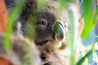 Toby, a baby female Koala (Phascolarctos cinereus) rescued from Gelantipy, East Gippsland, following the 2019 / 2020 bushfires, in care at Zoos Victoria Healsville Sanctuary. Victoria, Australia. Febr...