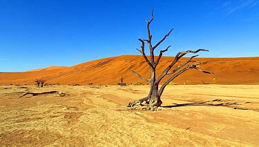 Dead Camel thorn trees (Vachellia erioloba), Sossusvlei region, Namib desert, Namibia, March