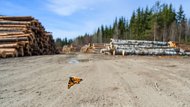 Large tortoiseshell butterfly (Nymphalis xanthomelas), flying in front of logged forest habitat, which had been destroyed during its hibernation period. Finland, April.