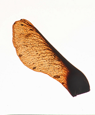 Sycamore (Acer pseudoplatanus) seed, backlit