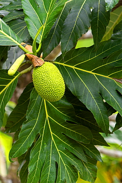 Breadfruit (Artocarpus altilis) fruit. Costa Rica.