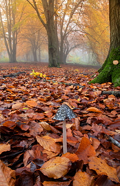 Magpie fungus (Coprinus picaceus) in Beech woodland, Surrey, UK. November.