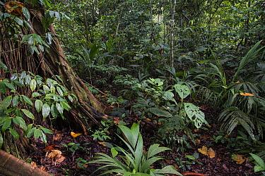 Tropical rainforest understorey in Tortuguero National Park, Costa Rica
