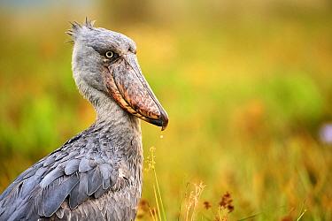 Shoebill stork (Balaeniceps rex) in the swamps of Mabamba, Lake Victoria, Uganda.