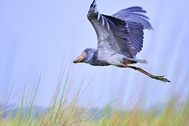 Shoebill stork flying (Balaeniceps rex) in the swamps of Mabamba, Lake Victoria, Uganda.