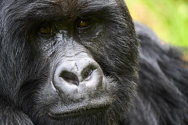Mountain gorilla (Gorilla beringei beringei) silverback male, portrait, member of the Nyakagezi group, Mgahinga National Park, Uganda.
