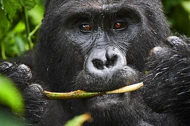 Portrait of male silverback Mountain gorilla (Gorilla beringei beringei) feeding. Bwindi Impenetrable Forest National Park, Uganda, Africa